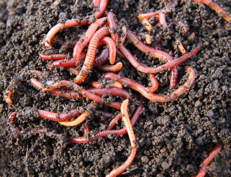 Worm Composting Taking Advantage Of Earthworm Benefits In The Garden