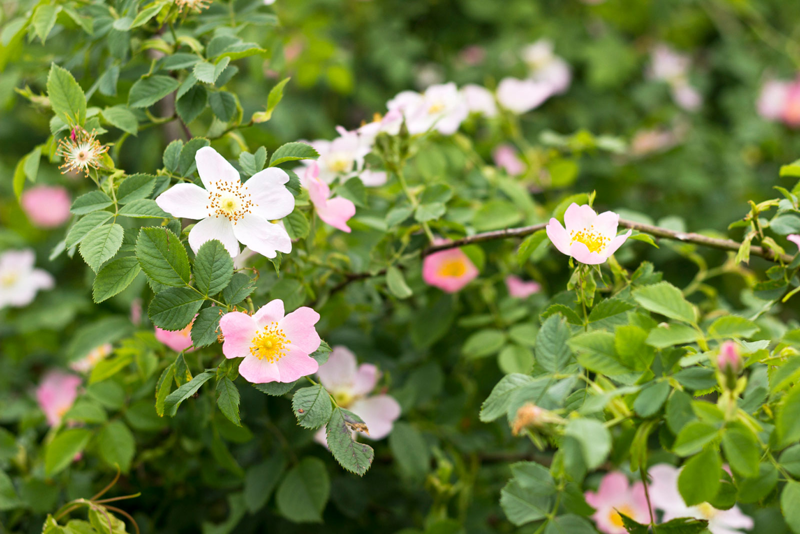 Wild Rose Care Growing Tips And Types Of Wild Roses