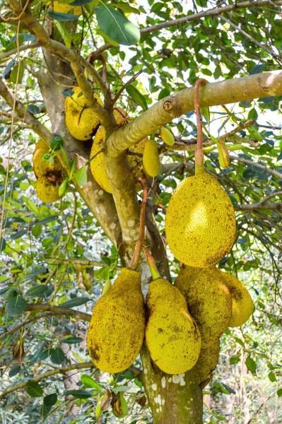 Jackfruit Care How To Grow Jackfruit Trees