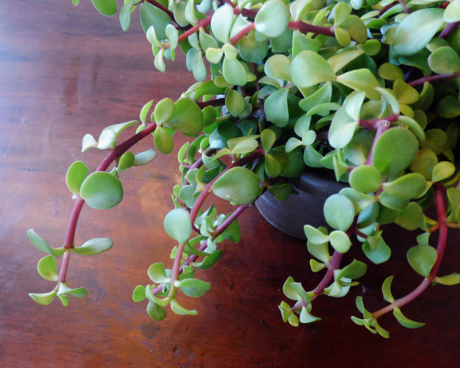 Portulacaria Care Growing Elephant Bush Succulents In The Home