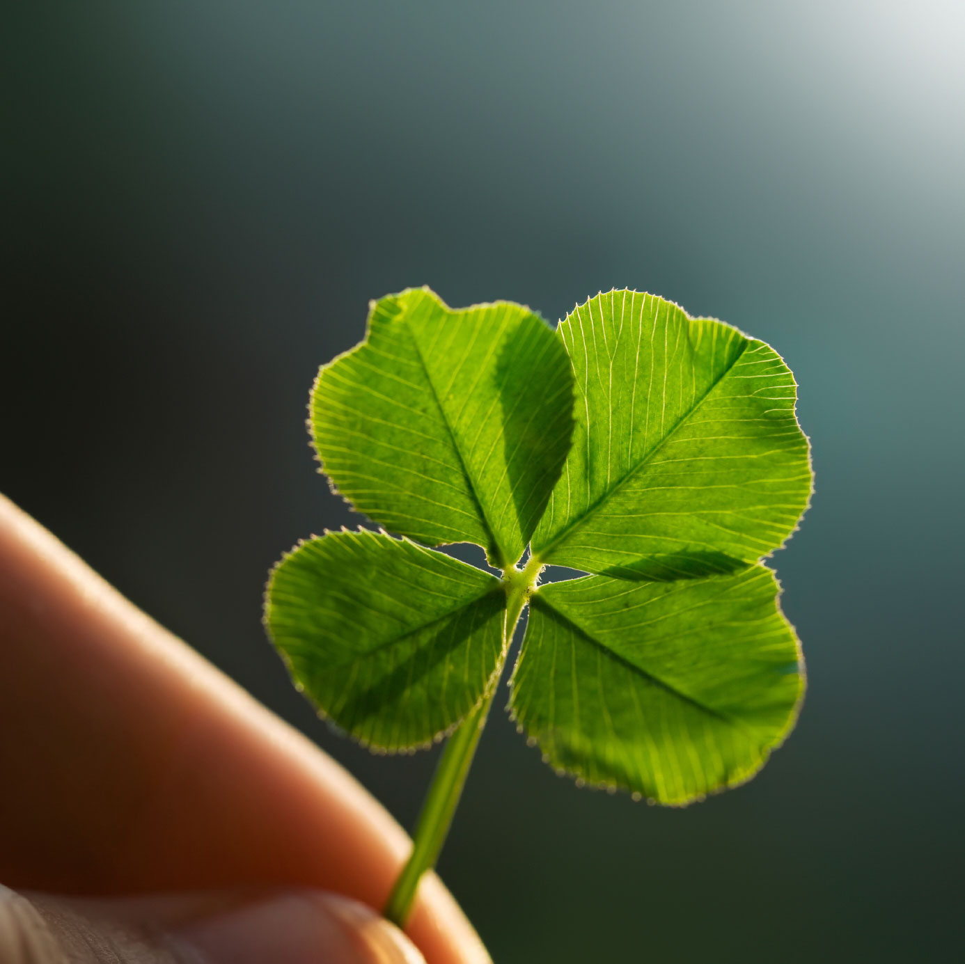 About Four Leaf Clovers Reasons For Finding A Clover With Four