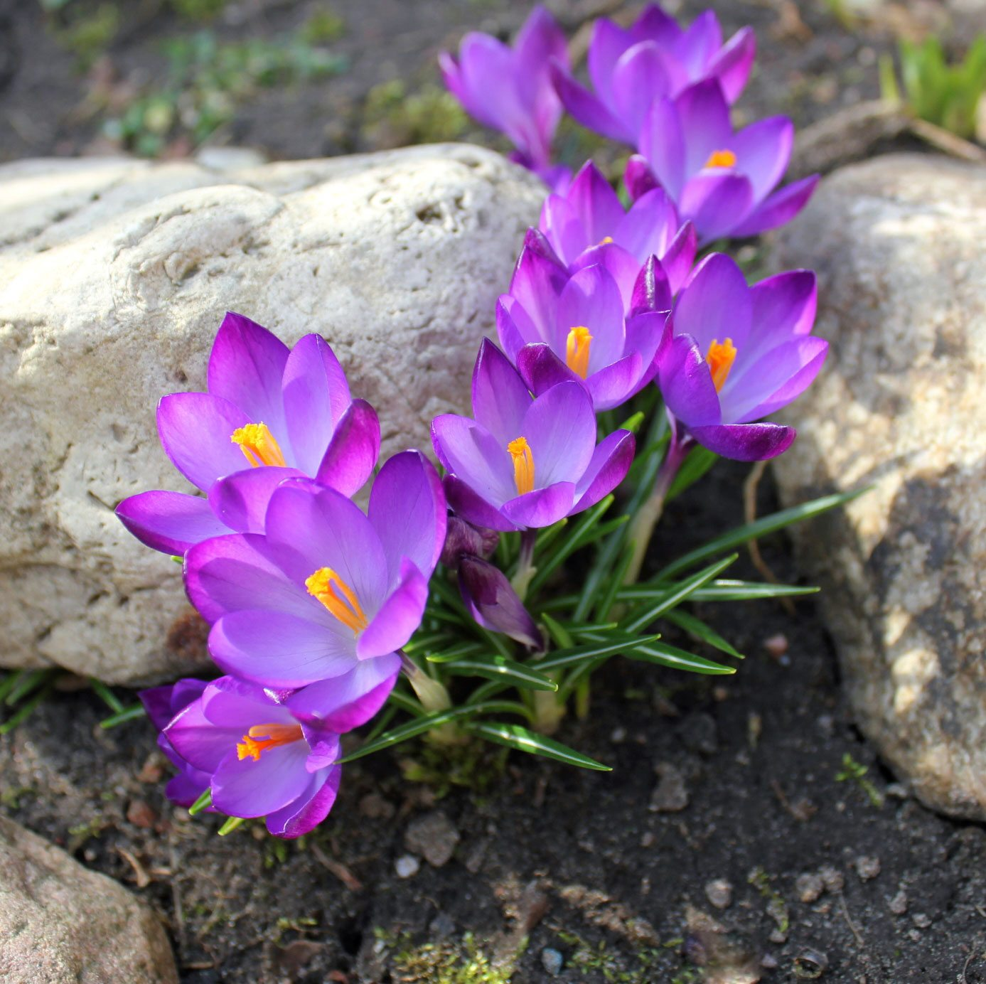 Crocus Bulb Growing What Is The Best Time To Plant A Crocus