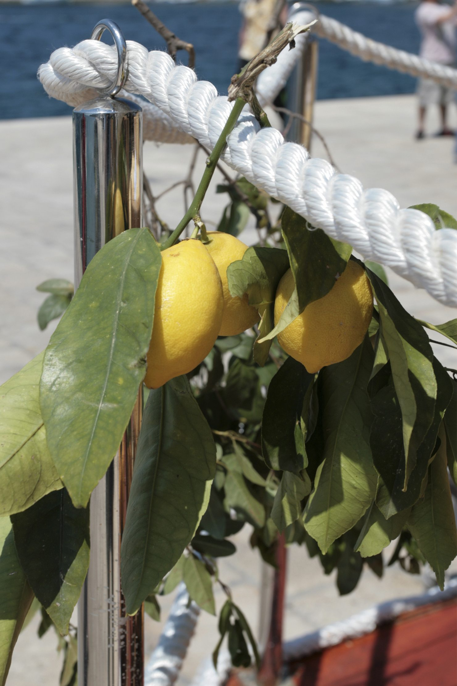 Salt Tolerance Of Citrus Trees Tips On Managing Salinity In Citrus