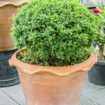 Evergreen Container Plants Learn About Container Grown Evergreens