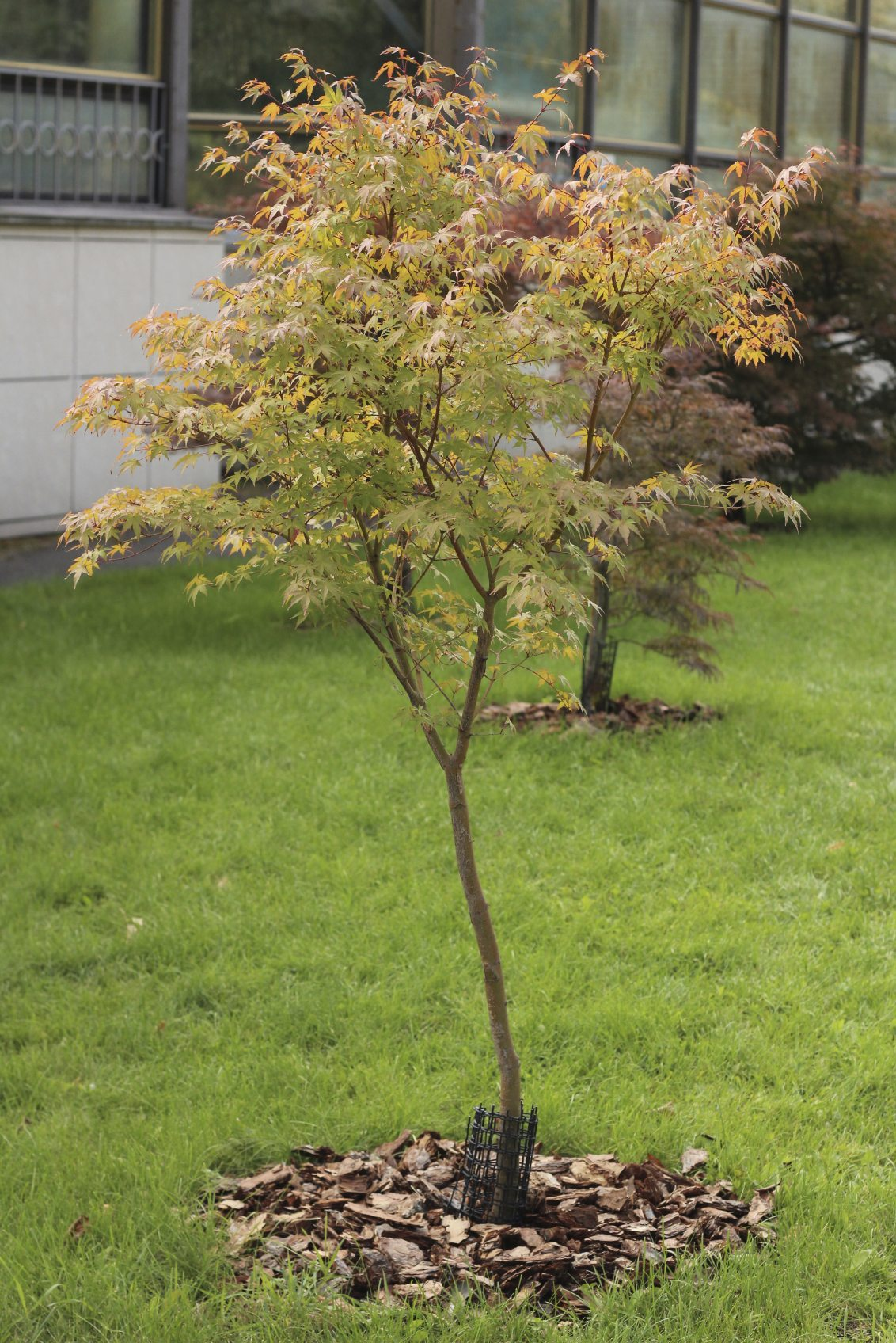 Japanese Maple Tree Facts Lifespan Of Japanese Maple Trees