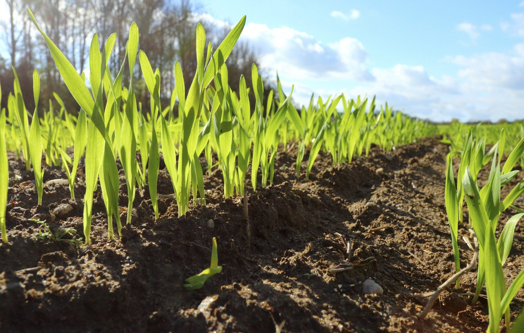 Using Cover Crops To Improve Clay Soil Cover Crop Plants For