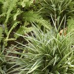 Can Spider Plants Be Outdoors Tips On Growing Spider Plants Outside