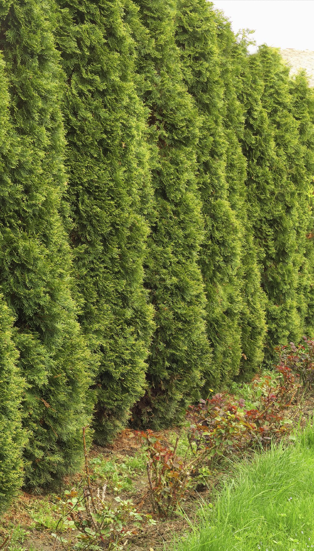 Evergreens With Quick Growth Learn About Evergreen Shrubs That