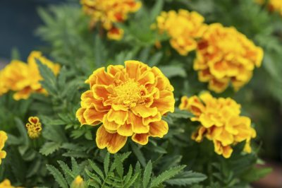 Marigold Plants Not Flowering Reasons Marigolds Are Not Blooming