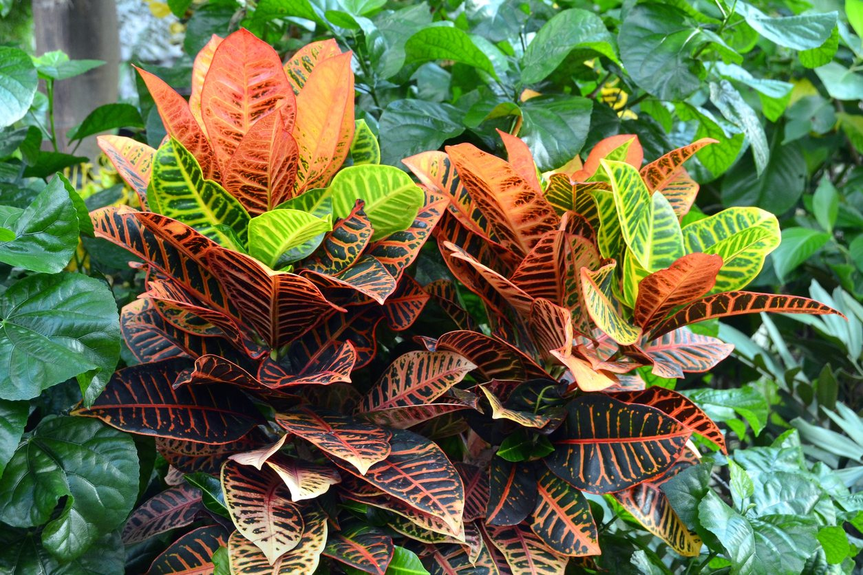 Can You Grow A Croton Outdoors Learn About Growing Croton Plants