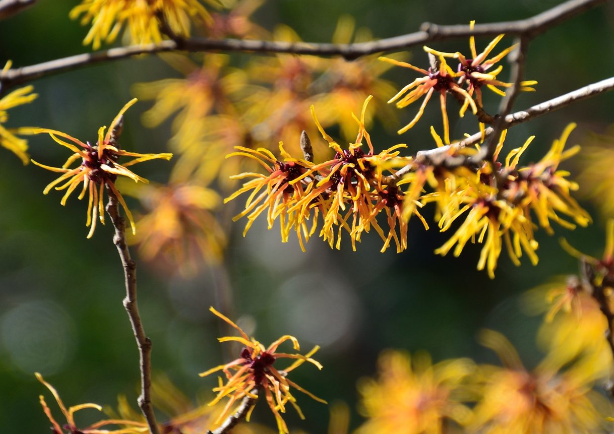 Witch Hazel Pruning How And When To Prune Witch Hazel Plants