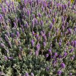 French Vs English Lavender How Are French And English Lavender Different