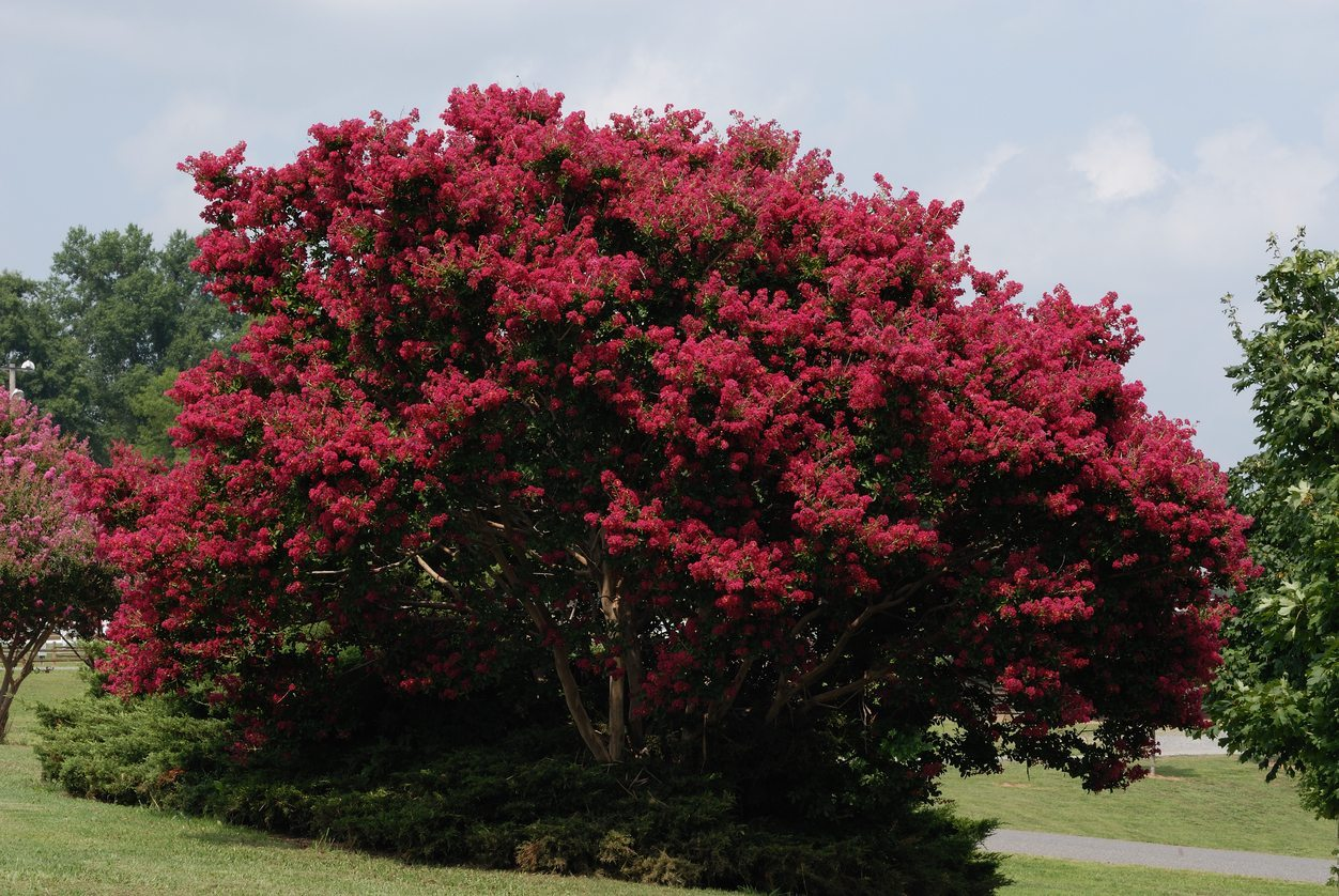 Common Flowering Trees For Zone 9 Choosing Trees That Flower In