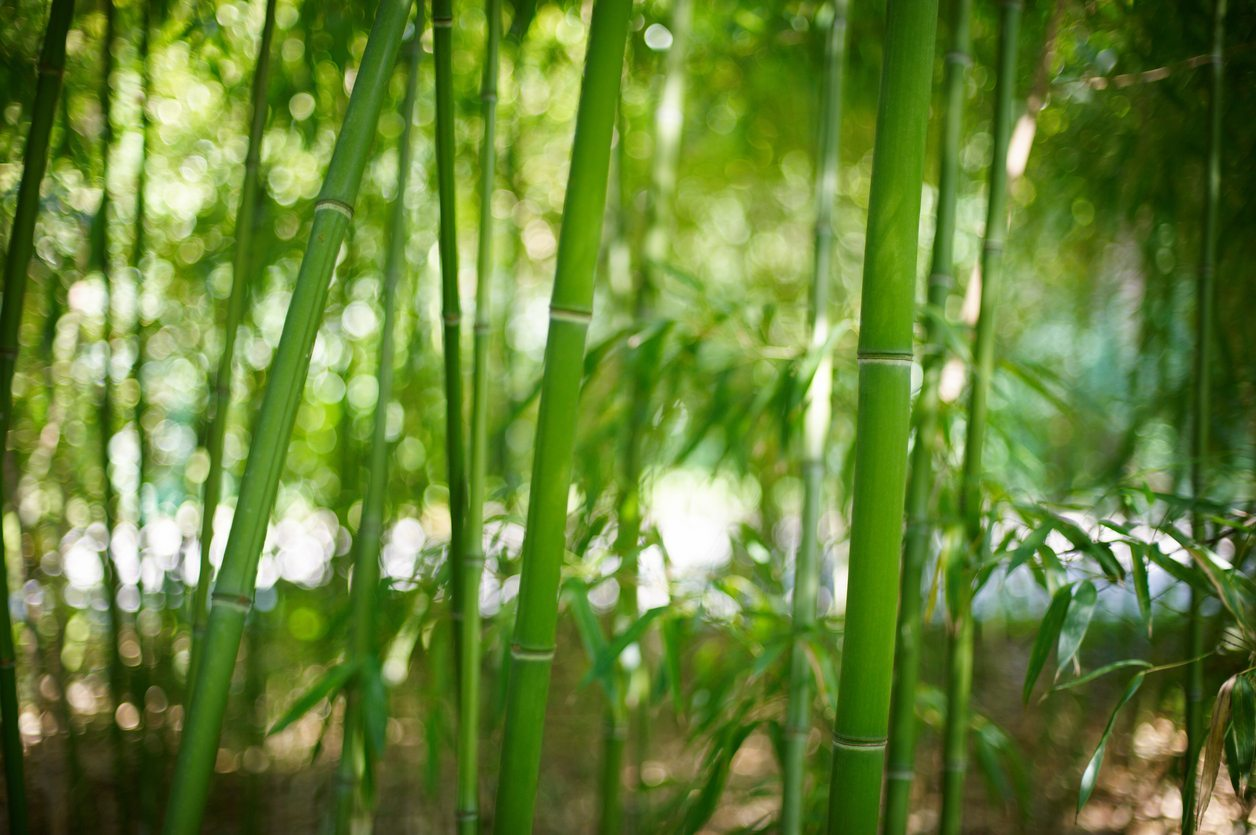 Zone 8 Bamboo Plants Can You Grow Bamboo In Zone 8 Gardens