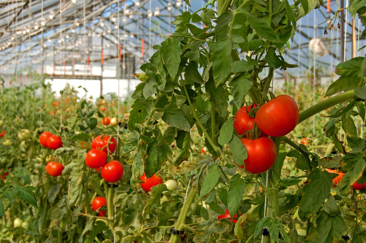 Greenhouse Grown Tomatoes Learn How To Grow Tomatoes In A Greenhouse