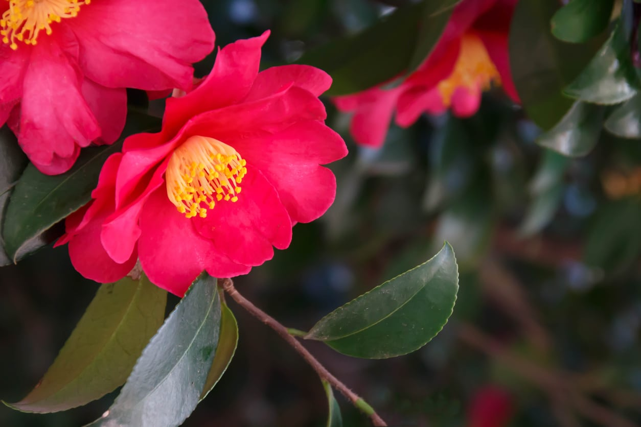 Reasons For Camellias Not Blooming Learn How To Make Camellias Bloom