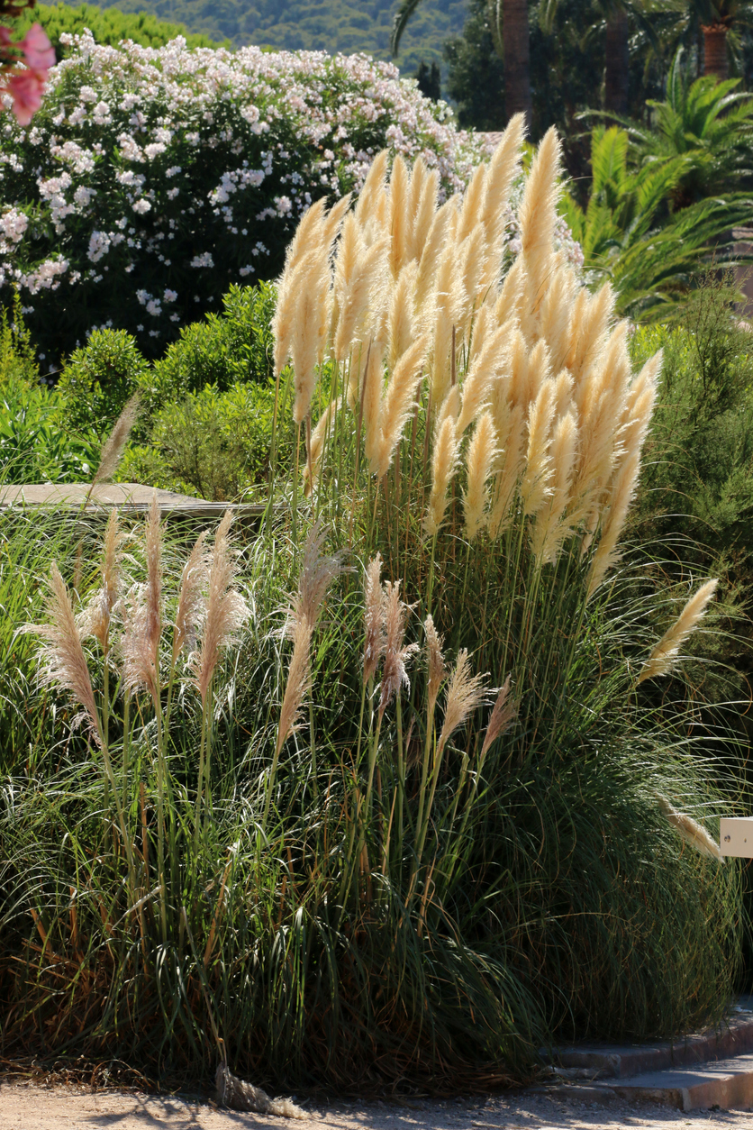 Dividing Ornamental Grass How And When To Divide Ornamental Grasses