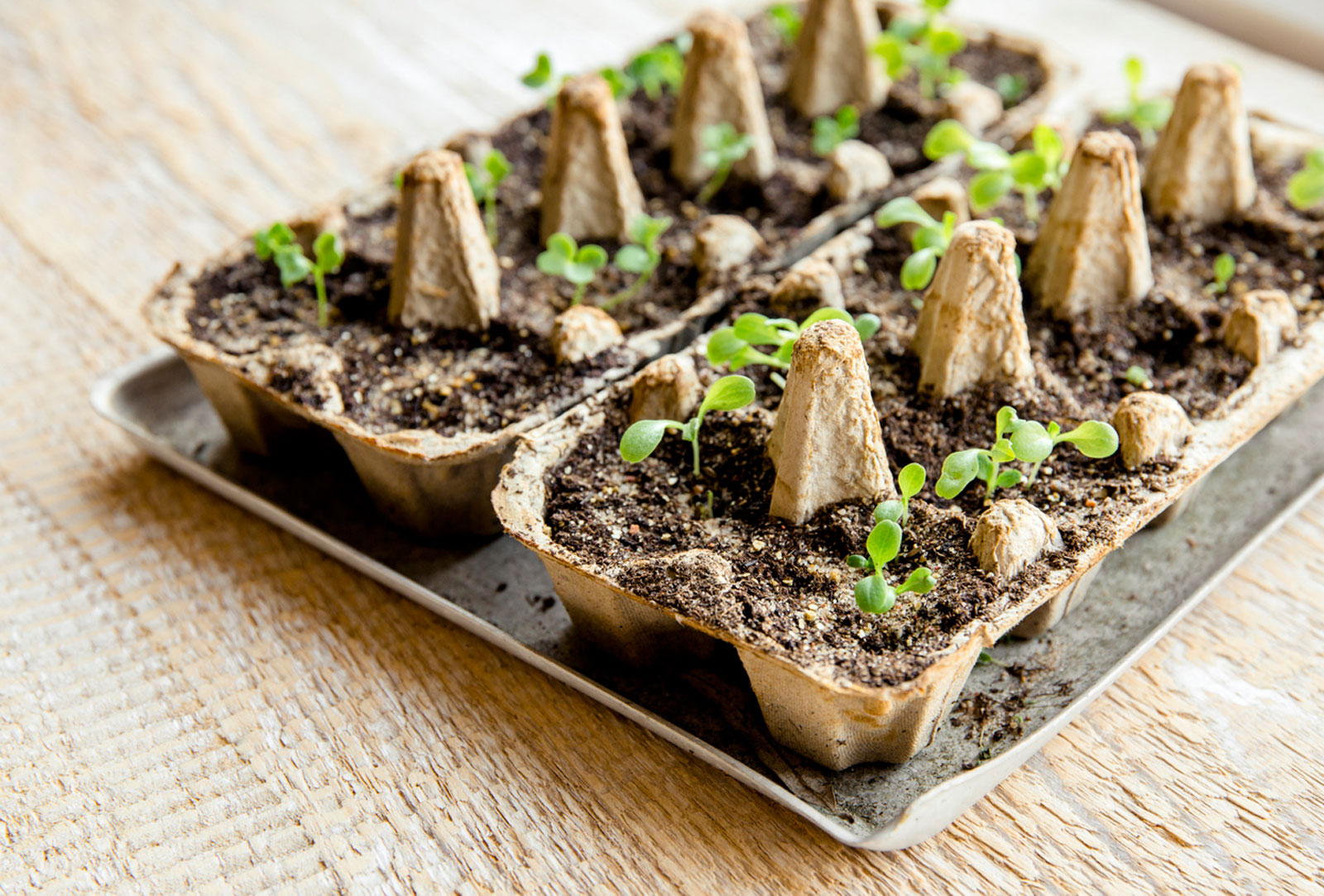 Starting Seeds In An Egg Carton – How To Use Egg Cartons For Seeds