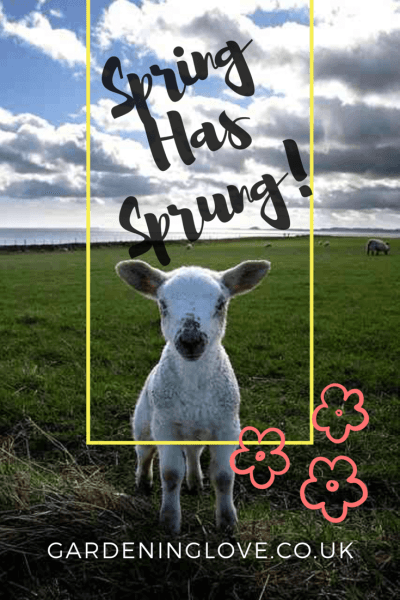 A lamb in a field staring into the camera, the caption reads, spring has sprung, gardeninglove.co.uk