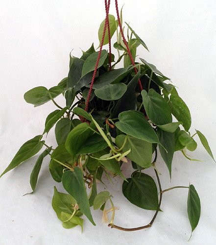 Heart Leaf Philodendron Gardenista