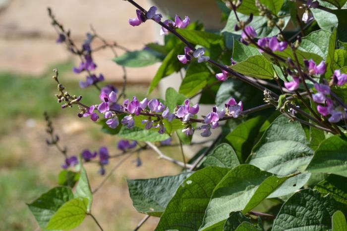 Vine Type House Plants