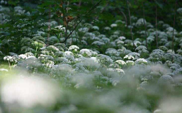 Goutweed en fleurs par Marie Viljoen