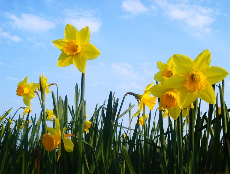 daffodils-flower