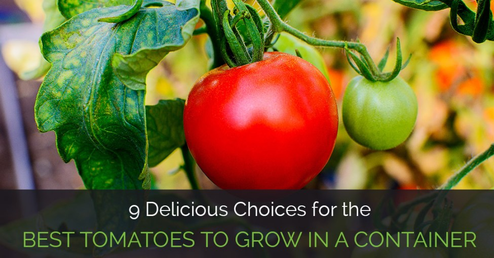 best-tomatoes-to-grow-in-a-container_fe