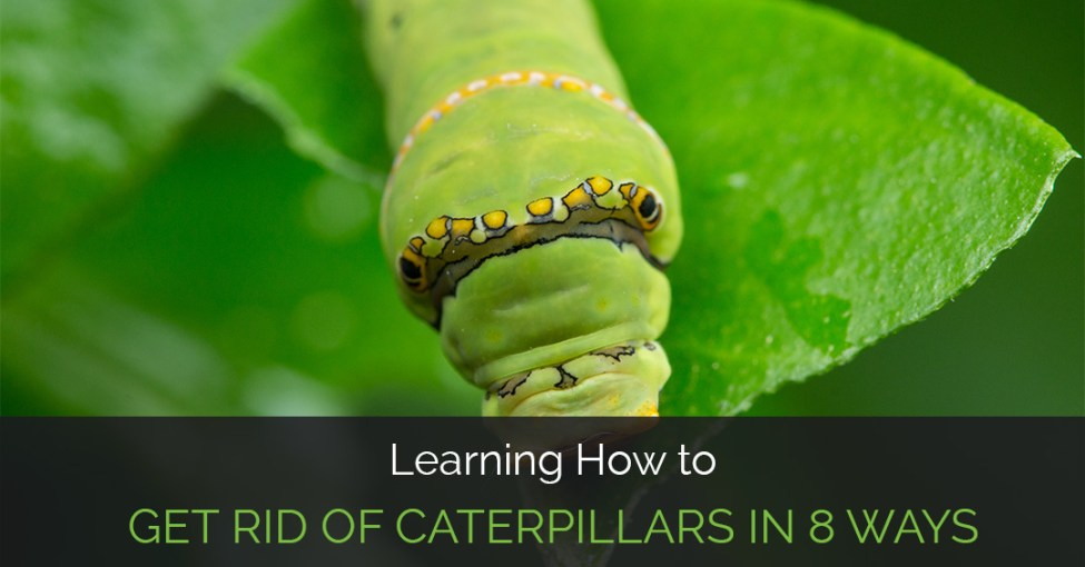 how-to-get-rid-of-caterpillars