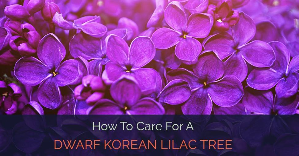 dwarf-korean-lilac-tree