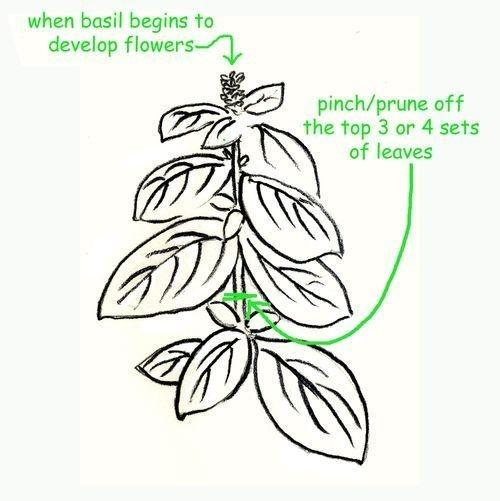 how-to-keep-basil-alive-2