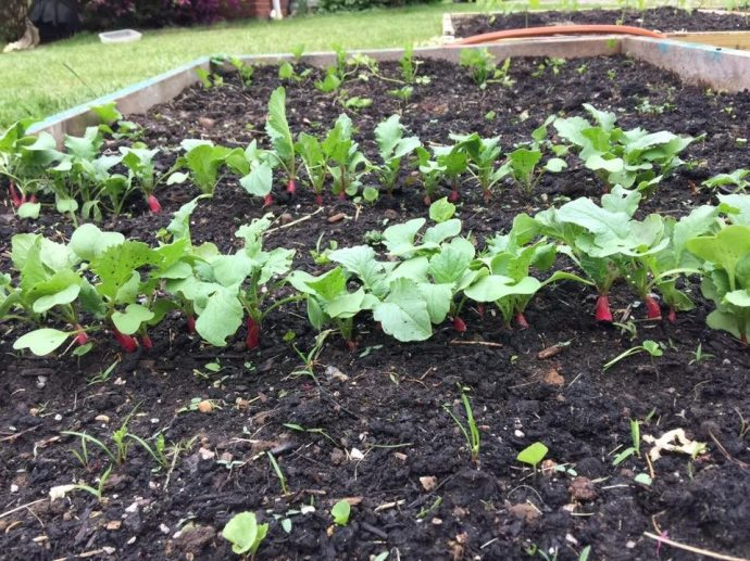 The first two rows of radishes growing