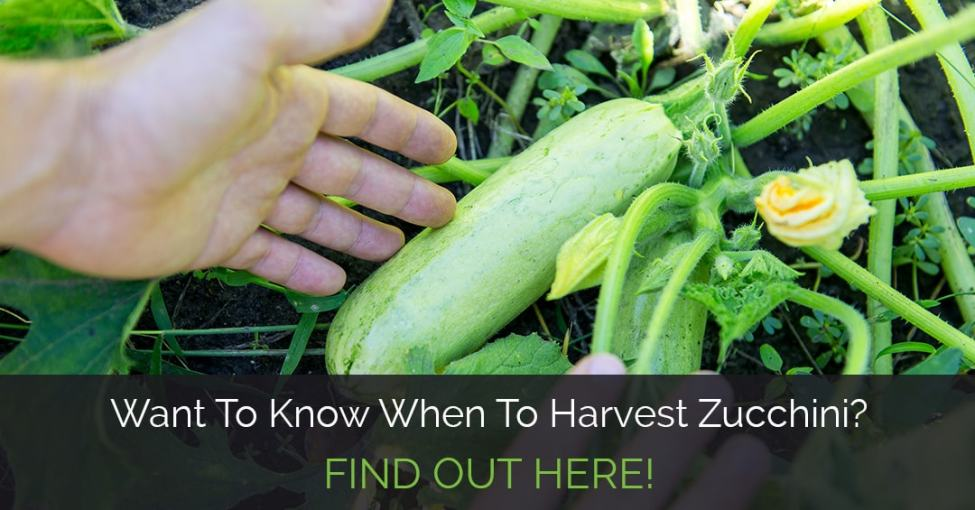 when-to-harvest-zucchini