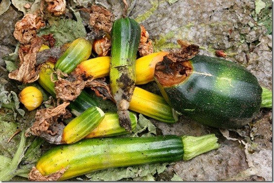 zucchini-growing-problems-6