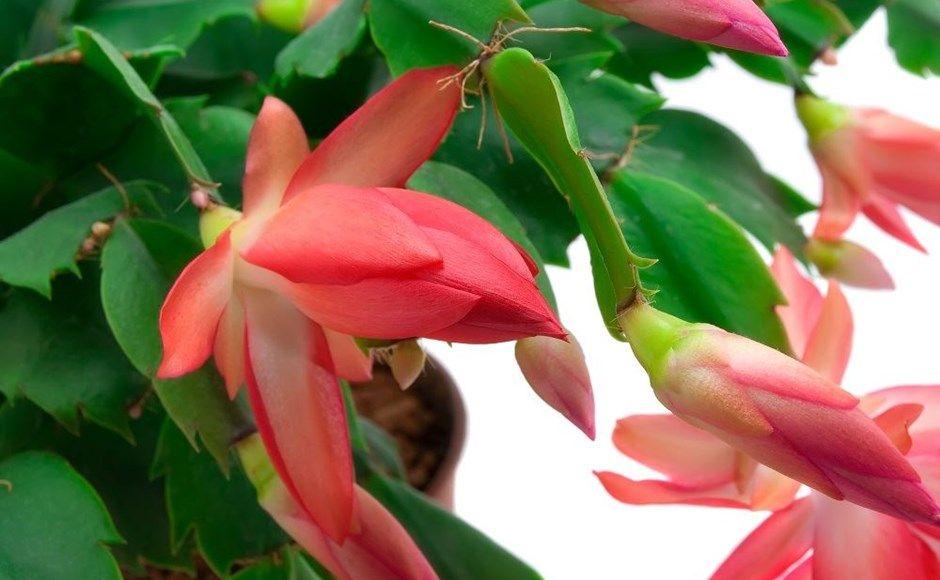 grow-chrismast-cactus-5