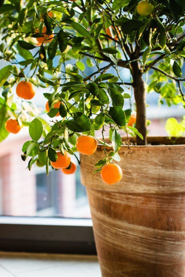 Indoor Citrus