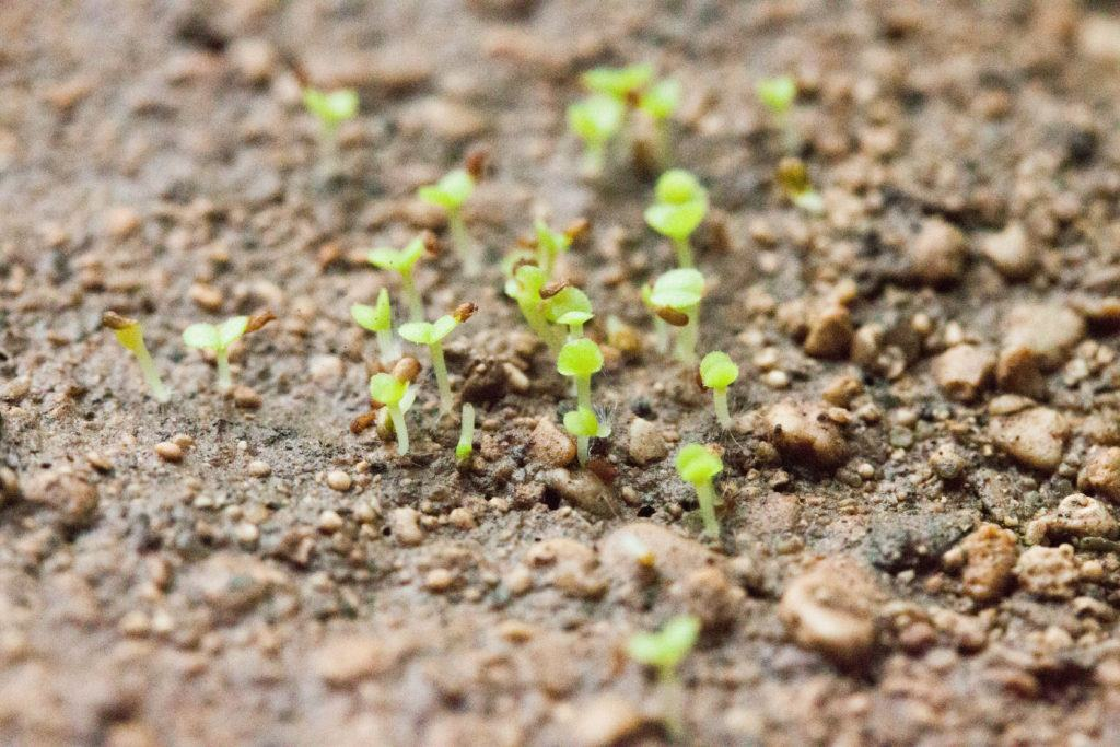 succulents-seedling