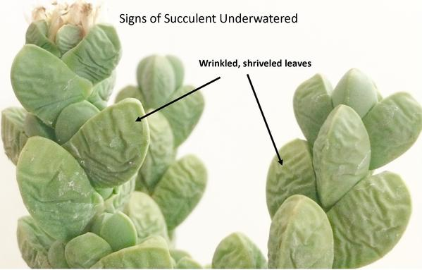 underwater-succulents