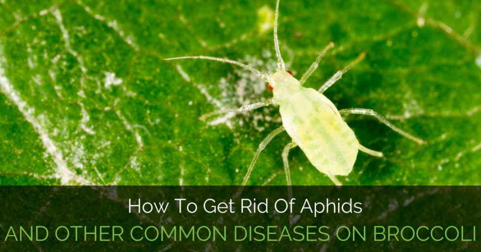 aphids-on-broccoli
