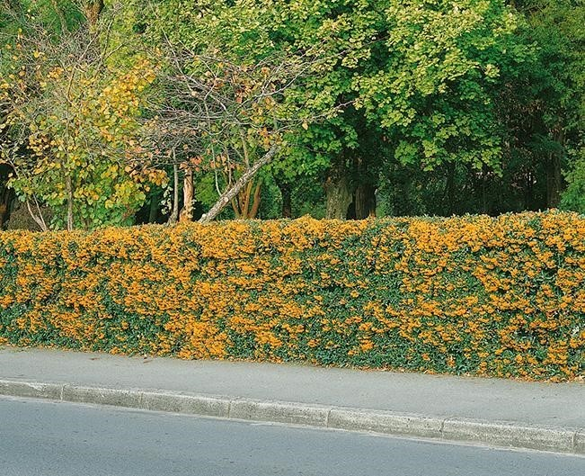hedge-6