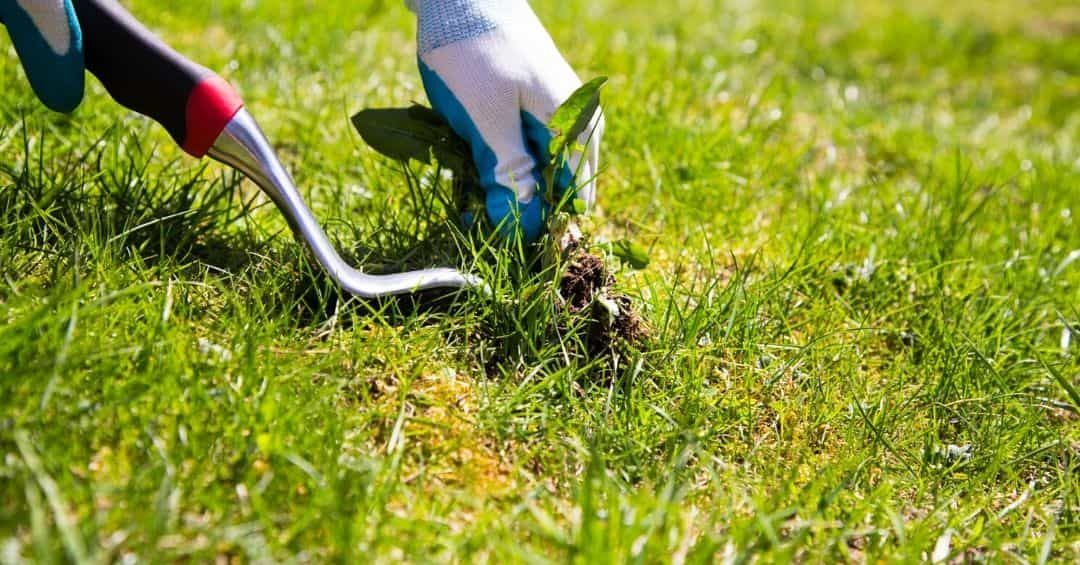 get-rid-of-weed-lawn-1