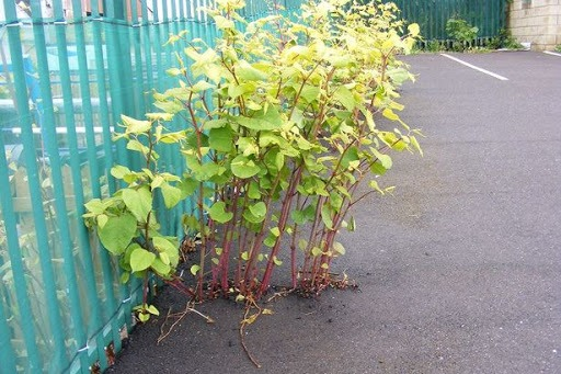 Japanese Knotweed - 1