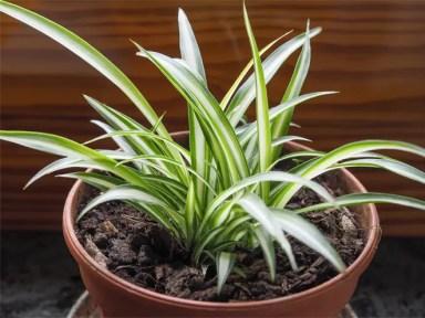 Image result for spider plant