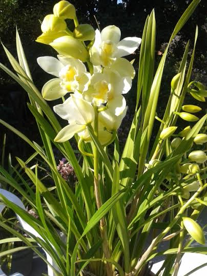 outdoor orchid