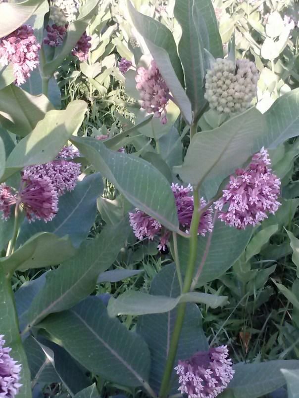 Milkweed in bloom