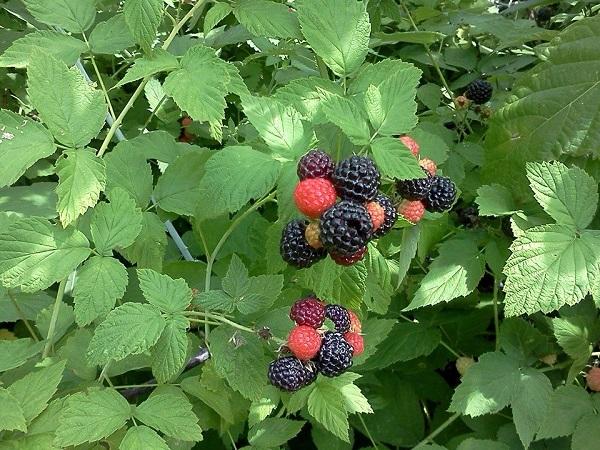 black-raspberry-plant