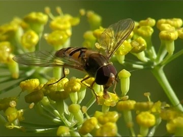 hoverfly and dill