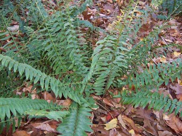 Christmas fern. Polystichum acrostichoides (1)
