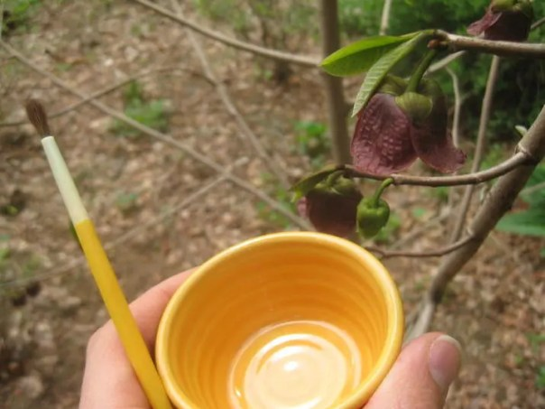 Pawpaw Hand Pollination Tools-715x536