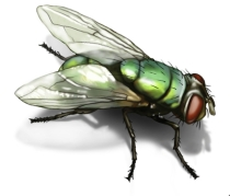 pawpaw blow-fly_210x179